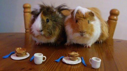 Gpigs having breakfast